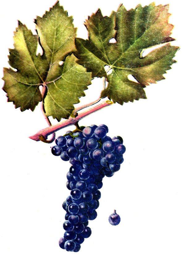 дикий виноград кельтский гороскоп